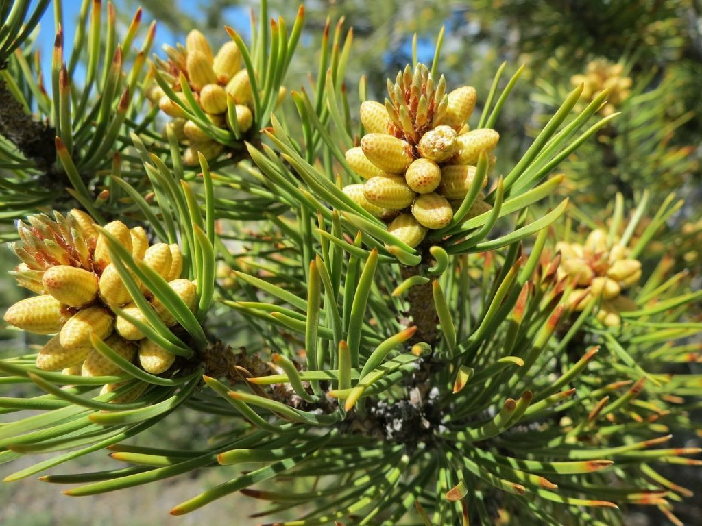 Terpenes-pine-tree